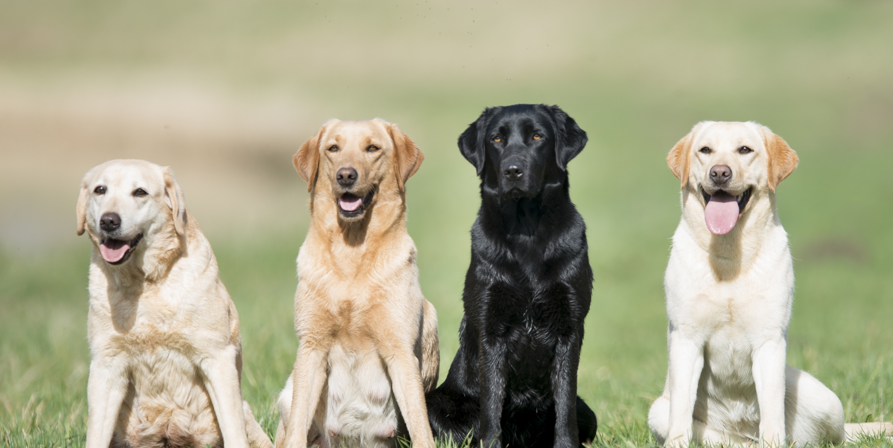 4 generaties labradors