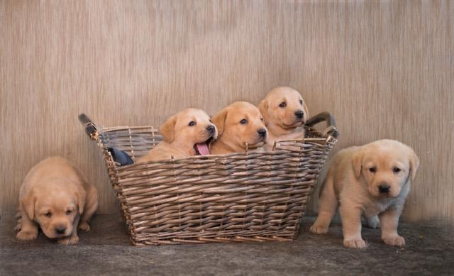 puppies 2017
